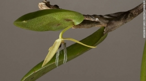 bulbophyllum_night_flower_003