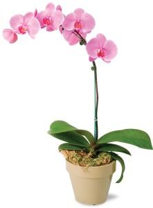 orchidcutout
