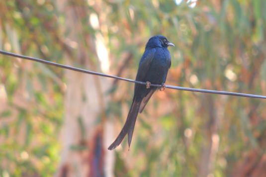 bird drango1