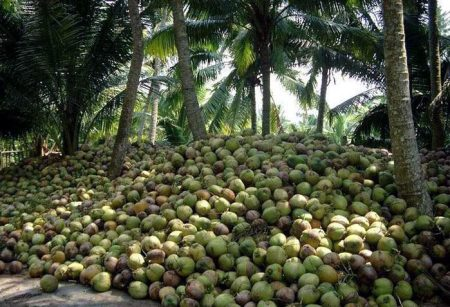 coconutharvest